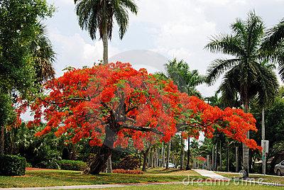 3_royal-poinciana-tree-20946985